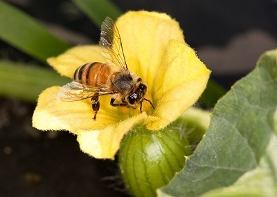 Why Are Honeybees Dying? | Research from the NC Agricultural Research Service | Scoop.it
