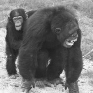 Simian Solicitude: Like Humans, Chimpanzees Console Victims of Aggression: Scientific American | animals and prosocial capacities | Scoop.it