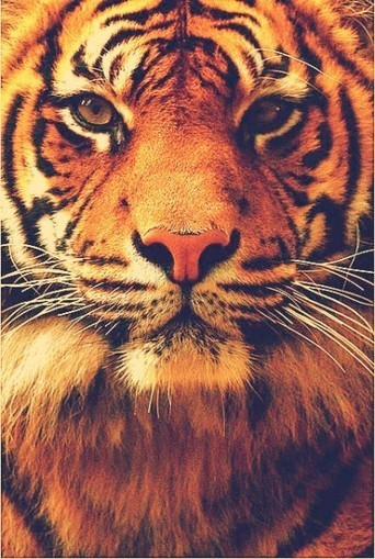 Photogenic tiger face | InspiredStream is A new Media Hub Live and Uploading from Artists All Over the World | Scoop.it