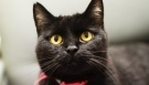 Busting black cat myths: Shelters say most fears unfounded | Pet News | Scoop.it