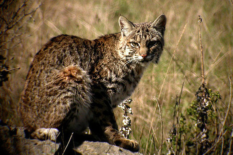 News - Indiana Public Media | Terre Haute Man Charged For Poaching A Bobcat | Wildlife Trafficking: Who Does it? Allows it? | Scoop.it