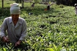 Du 09 Nov au 10 Nov, c'était aussi Le Carnaval et la fête de la culture du thé à Thai Nguyen - Vietnam+   NEWS from the TEA WORLD - NELLES DU MONDE DU THE   Scoop.it