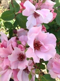 Dr. Griffith Buck roses, bloomingtoday | Rose gardening for everyone | Scoop.it