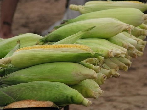 Improved Non-GMO Corn Performing Better Than GMO Crops   About Science   Scoop.it