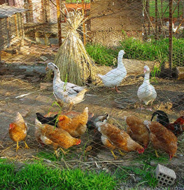 Poultry Supplies: Types Breeds For Your Poultry Business   Poultry Supply   Scoop.it