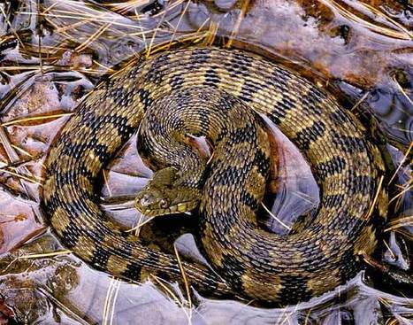 Is this Snake Venomous? What to Look for when Dealing with Snakes.   REPTILICIOUS   Scoop.it