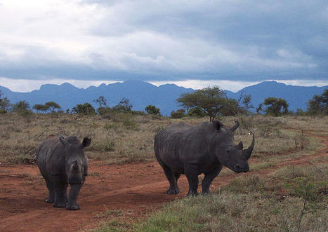 ANOTHER DEADLY YEAR FOR RHINOS | Save our Rhino and all animals...this is what it looks like!!!!! | Scoop.it