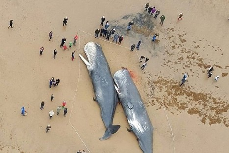 Why do whales strand on beaches? | Human-Wildlife Conflict: Who Has the Right of Way? | Scoop.it