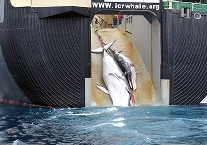 Pirates of Greed Get Away with Murder: Appeals Court Favors Japanese Whale Poachers   EcoWatch   Scoop.it