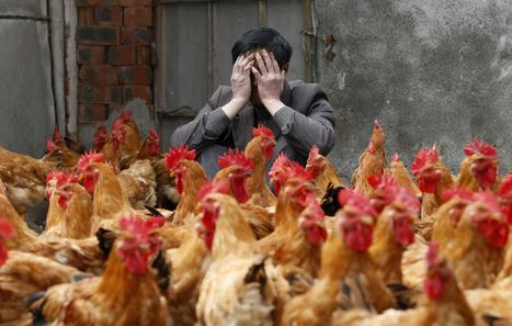 H7N9 Bird Flu Kills In Shanghai As Health Authorities Declare Emergency Over | Biosciencia News | Scoop.it