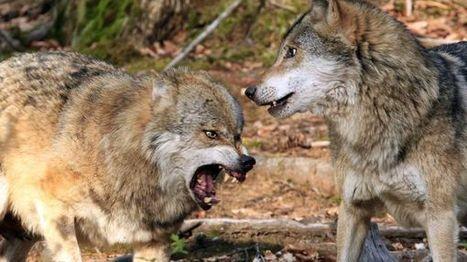 Attaque de loups dans les Vosges : comment protéger les éleveurs ? | Loup | Scoop.it