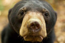 New project works to raise the profile of the world's littlest bear | Bears | Scoop.it