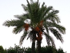 Qatar seeks to lead world in date palm research : House of Wisdom | Botany Roundup: Worthy Plant News | Scoop.it