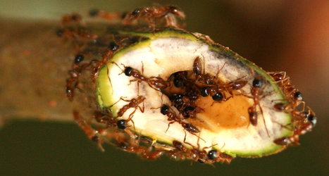 Ants on guard | InsectNews | Scoop.it