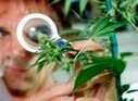 Marihuana podría prevenir la diabetes, publica el American Journal ... - LaRed21 | medicina | Scoop.it