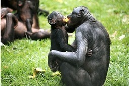 Animal Kindness: Bonobos Forego Food To Give To Strangers | Animals R Us | Scoop.it