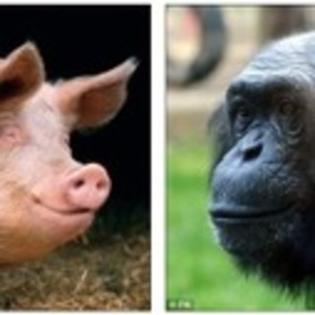 American geneticist: 'Humans evolved after a female chimpanzee mated with a pig' | Cultural History | Scoop.it