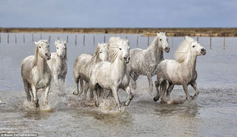 The real-life unicorns: Magical shots of wild white horses racing through French marshes at Camargue | Equestrian | Scoop.it