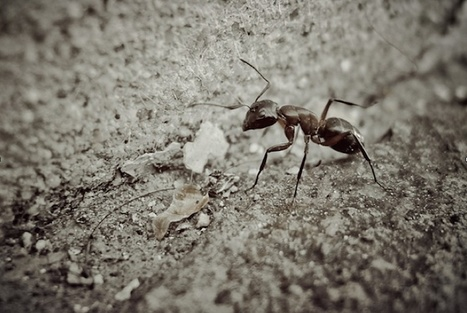 » Pioneering Ants Challenge Self-Organization Assumptions | Complex systems and projects | Scoop.it