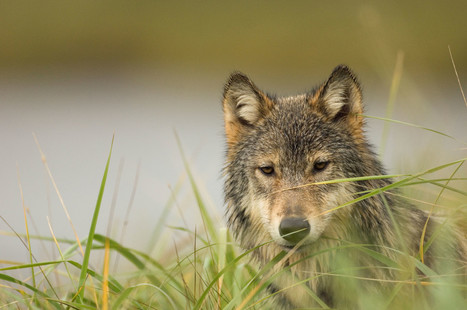 Wolves, Bears, and Other Imperiled Wildlife in Crosshairs of Bill Set for Action in U.S. House Today · A Humane Nation | Trophy Hunting: It's Impact on Wildlife and People | Scoop.it