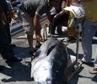 Tuna Capsized Boat: 230 lb Tuna Drags Fisherman Into Sea in Hawaii (VIDEO) - Christian Post | Small Boat | Scoop.it