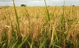 Rice Farming Is Most Profitable In Nigeria Today   Sustainable agriculture in ACP countries   Scoop.it