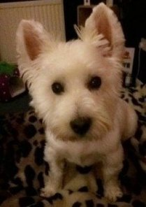Tweet from @caring4dogs   West Highland White Terrier   Scoop.it
