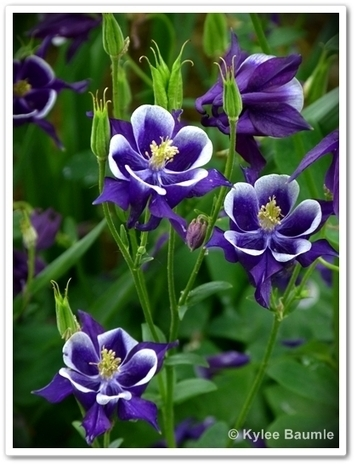 Our Little Acre: Oh, Columbine of Mine | Annie Haven | Haven Brand | Scoop.it