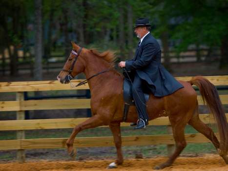 Proposed changes could threaten walking horse industry - Ocala   Horse Industry News   Scoop.it