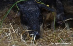 Des cochons laineux à Organic'Vallée ! - Organic'Vallée | Agriculture urbaine, architecture et urbanisme durable | Scoop.it