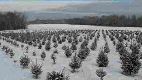 Christmas Tree Farmers Invest Long-Term In The Holiday Spirit - NPR | INTRODUCTION TO THE SOCIAL SCIENCES DIGITAL TEXTBOOK(PSYCHOLOGY-ECONOMICS-SOCIOLOGY):MIKE BUSARELLO | Scoop.it