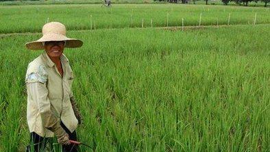 'Golden rice' GM trial vandalised | Genetically Modified Food | Scoop.it