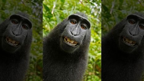 Judge rules monkey cannot own selfie photos copyright | Fox News | Rocky Mountain Entrepreneurs Succeed | Scoop.it