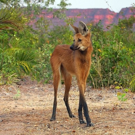 White Wolf : Stunning Photos Showcase A Truly Unique Animal : Maned Wolves | Oceans and Wildlife | Scoop.it