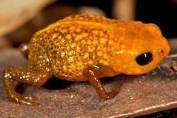 Descubren siete nuevas especies de ranas miniatura | Bichos en Clase | Scoop.it