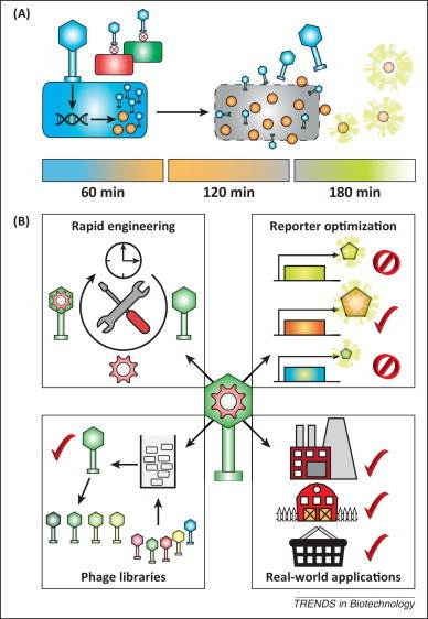 Advancing bacteriophage-based microbial diagnostics with synthetic biology | SynBioFromLeukipposInstitute | Scoop.it