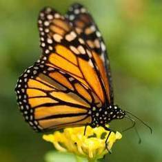 Climate Change May Disrupt Monarch Butterfly Migration: Scientific American | Sustain Our Earth | Scoop.it