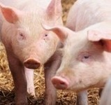 Causes and Symptoms of Swine Flu | Health and Medicine | Scoop.it