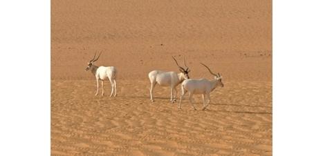 L'addax, une antilope du Sahara, va disparaître à l'état sauvage | Biodiversité & Relations Homme - Nature - Environnement : Un Scoop.it du Muséum de Toulouse | Scoop.it