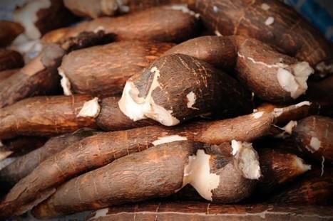 Almidón de yuca, un excelente candidato para reemplazar al trigo | Cultivos | Scoop.it