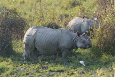 Rhinos to get new homes in India | RHINO BIOLOGY & CONSERVATION | Scoop.it