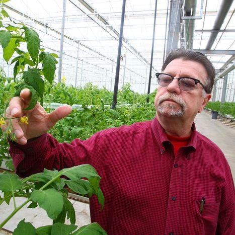 A medical marijuana growth industry? Niagara greenhouse hopes bumper crop is at end of Albany maze | Hemp | Scoop.it