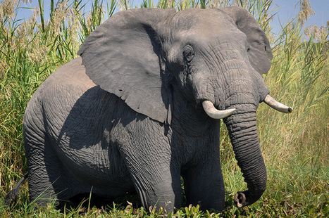 Major Move Forward for Ban on Ivory, Rhino Horn | Wildlife and Environmental Conservation | Scoop.it