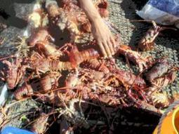 Poachers nabbed with 138 crayfish | Wildlife Trafficking: Who Does it? Allows it? | Scoop.it