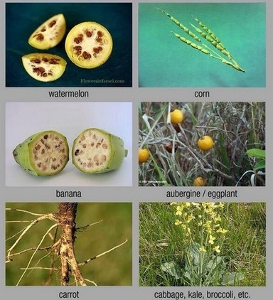 How your food would look if not genetically modified over millennia | Archivance - Miscellanées | Scoop.it