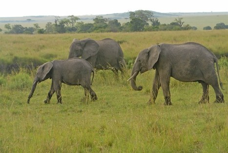Uncertain Future For African Elephants By Marianne de Nazareth | Global politics | Scoop.it