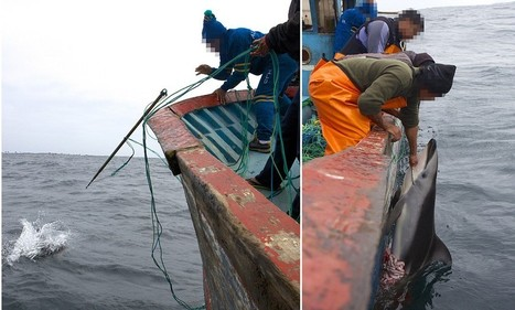 Massacre of the dolphins: How 10,000 of the mammals a year are being speared and slaughtered - just for bait to catch endangered sharks | News round the Globe especially unacceptable behaviour | Scoop.it