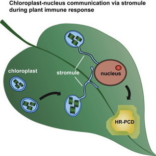 Chloroplast Stromules Function during Innate Immunity: Developmental Cell | Emerging Research in Plant Cell Biology | Scoop.it