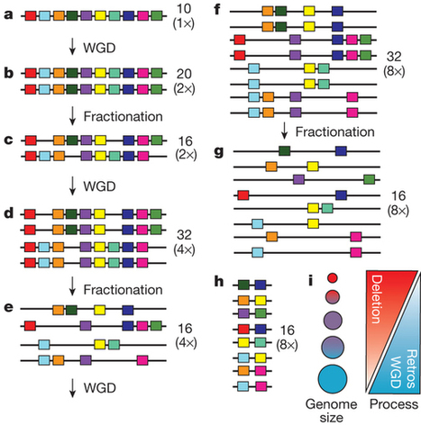 Architecture and evolution of a minute plant genome | Plant Genomics | Scoop.it