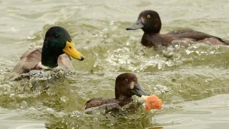 Animal rights activist beaten with duck in Spain | Nature Animals humankind | Scoop.it
